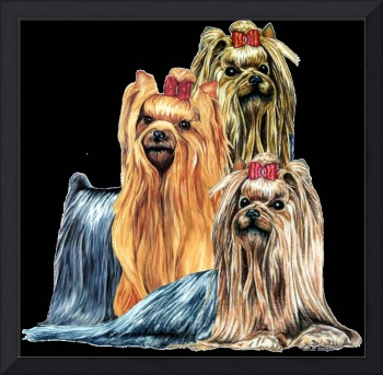 Yorkshire Terrier Yorkies Portraits