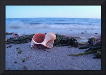 Whelk Shell at Forest St. Beach