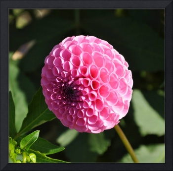 The Pink Dahlia