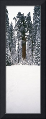 General Sherman trees in a snow covered landscape