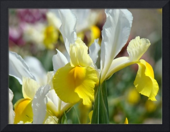 Iris Flowers Yellow Irises 1 Art Prints Canvas Art