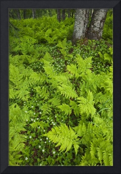 Wood ferns and bunch berry cover the ground near B