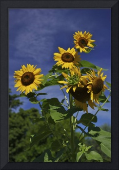 Sunflowers 3V374