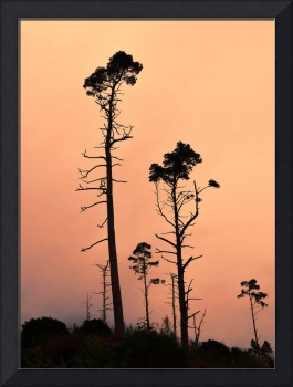 Long Tall Pines 4.