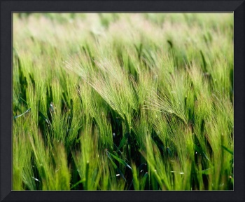 Barley, County Down, Ireland