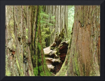Redwood Trees art print Canvas Prints Framed art