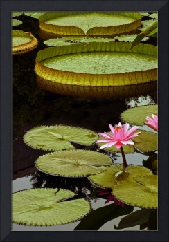 Waterlilies and Platters Vertical Romance