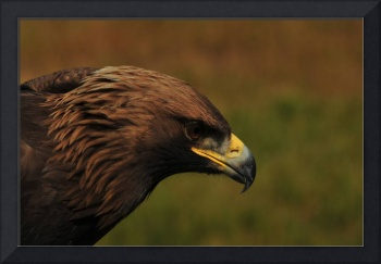 Golden Eagle, bird photograph.