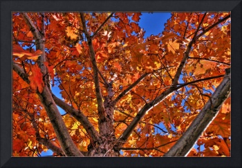 Red Leaves / Blue Sky (HDR)