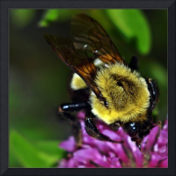 Bumble Bee On Red Clover