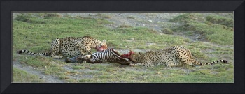 Two cheetahs (Acinonyx jubatus) eating a dead zeb