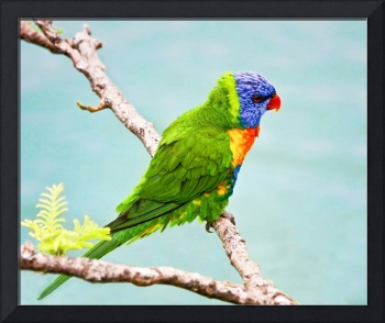 Green, Blue Lorikeet Bird -Whitsunday, Australia