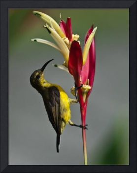 Olive-backed Sunbird (Female)
