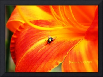 Green Bottle Fly on Orange Lily