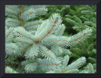 Blue Spruce Tree branches art prints Conifer Trees