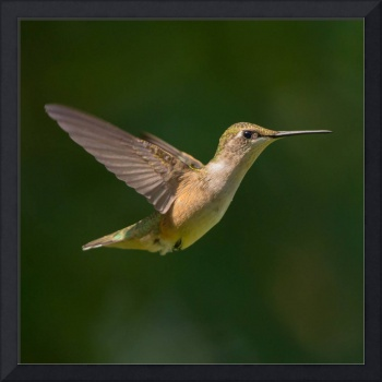 Ruby-throated Hummingbird Flying