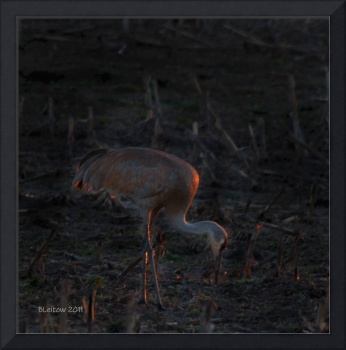 Sandill Crane at Sunset