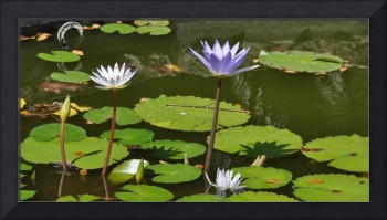 Waterlilies in the Caribbean
