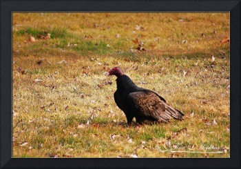Turkey Vulture 20120313_6a