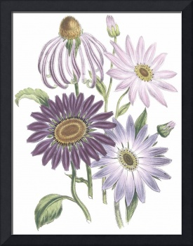 Echinacea Flowers by Jane Webb Loudon