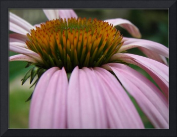 first coneflower of 2008