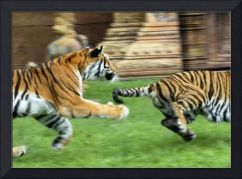 Chasing Tigers