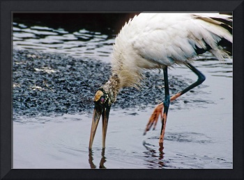 Woodstork Hunts for Food