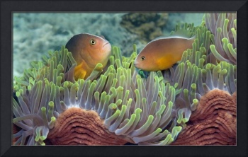 Two Skunk Anemone fish and Indian Bulb Anemone