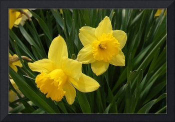 Two Yellow Daffodils Photo