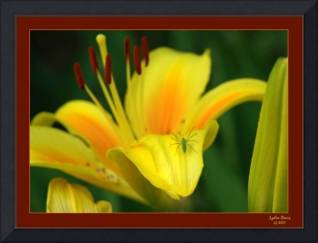 Spider Lily with Border