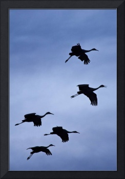 Flock of flying sandhill cranes, Bosque del Apache