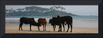 Indian Goa Cattle gathering by the Ocean