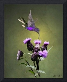 Violet Sabrewing Hummingbird and Thistle