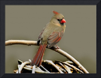 Mrs. Female Northern Cardinal.