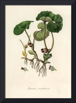 Vintage Botanical European Wild Ginger