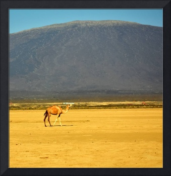 Camel in front of volcano, Danakil Depression