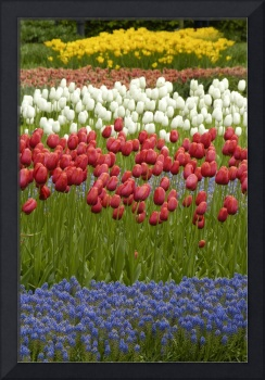 Red Yellow Tulips in Bluebonnets
