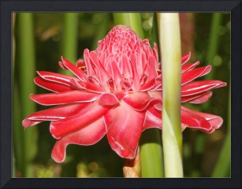 Red Torch Ginger.