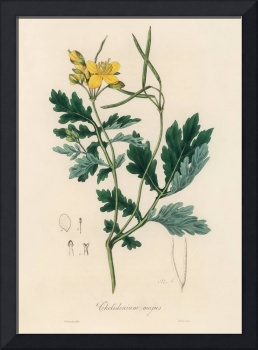 Vintage Botanical Greater celandine