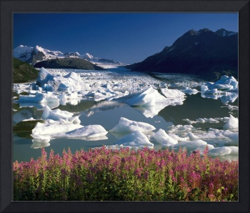 View of Colony glacier with fireweed. Southcentral