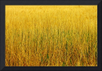 Yellow Gold Grass