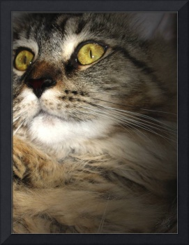 Portrait of a Maine Coon