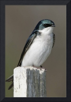 Tree Swallow 1DV576highres
