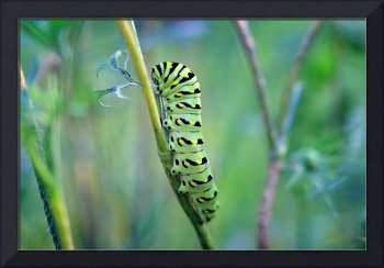 Black Swallowtail Butterfly Caterpillar in Garden