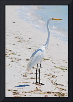 Great White Egret on Beach