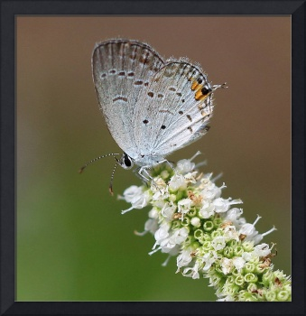 Eastern Tailed Blue Butterfly Square