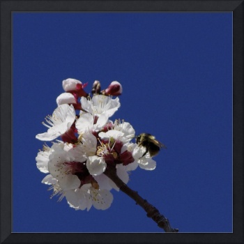apricot bee
