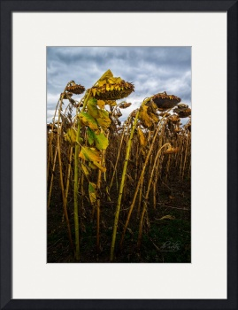 Bowing Sunflowers by D. Brent Walton
