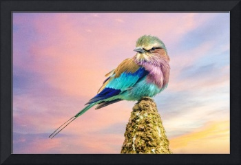 Lilac breasted roller at sunset