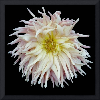 Shaggy Pink And Yellow Dahlia